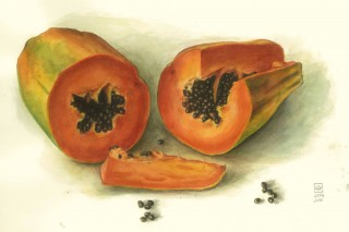 Papaya Aquarell